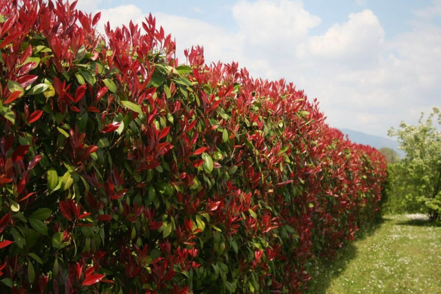 glansmispel-photinia-fraseri-red-robin-80-100cm.jpg